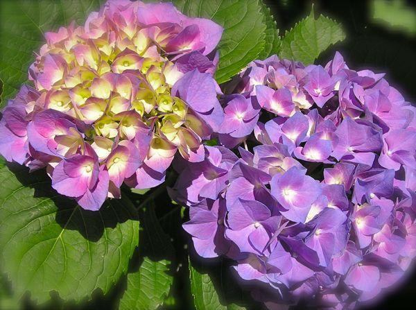 photo of lavendar hydrangea