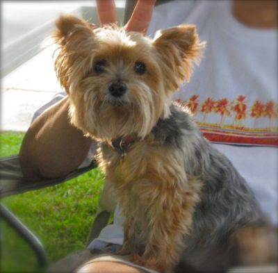 photo of a yorkie