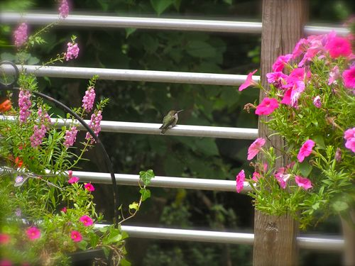 photo of a ruby-throated hummingbird