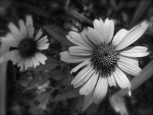 photo of a coneflower bloom
