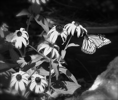photo of a monarch on a coneflower bloom