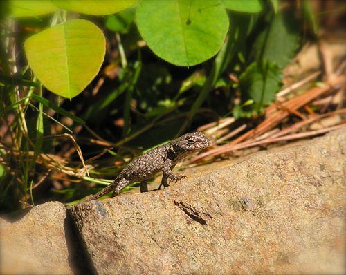 photo of a fence lizard