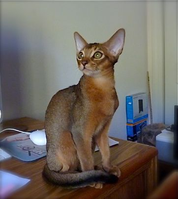 photo of an abyssinian cat