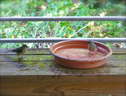 photo of titmouse