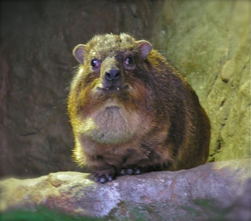 photo of rock hyrax