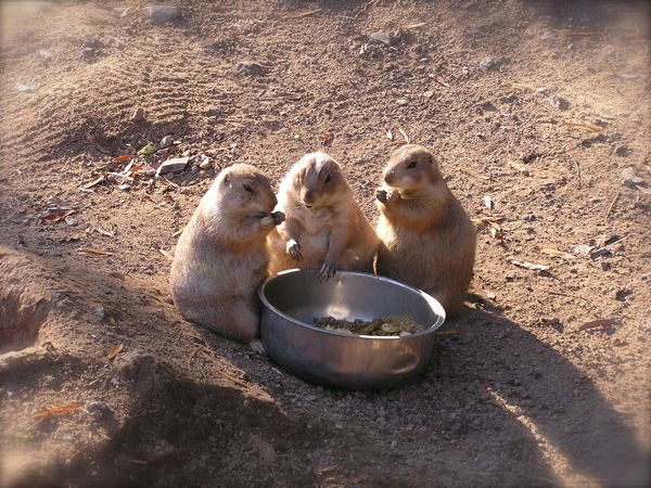 photo of prarie dogs