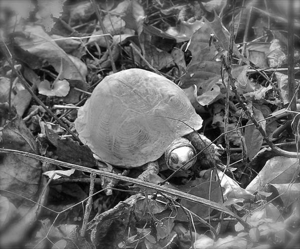 box turtle photo