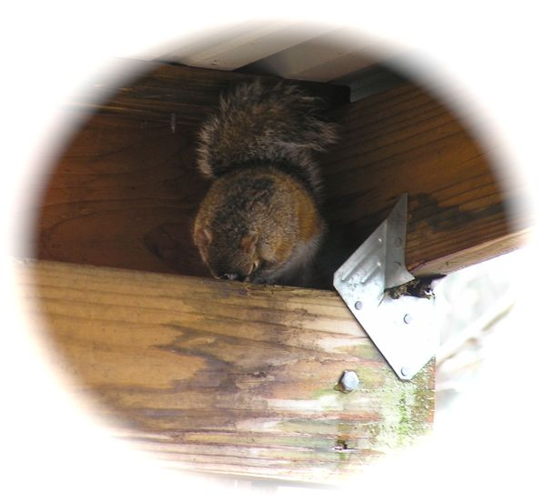 photo of a baby squirrel