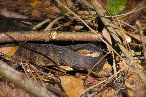 photo of a cottonmouth