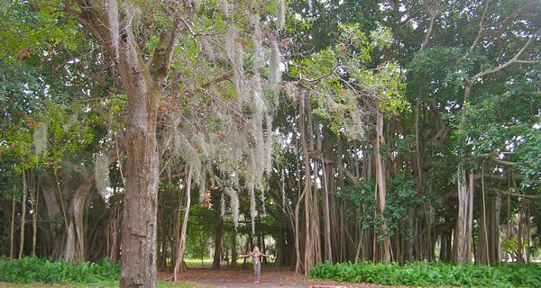 banyan tree photo