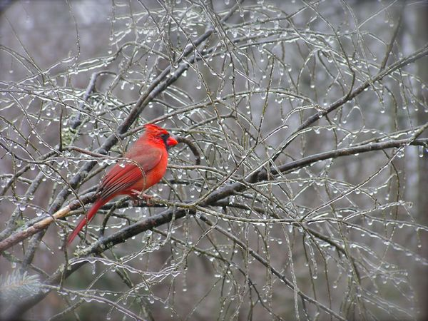 A male Cardinal in an ice covered tree