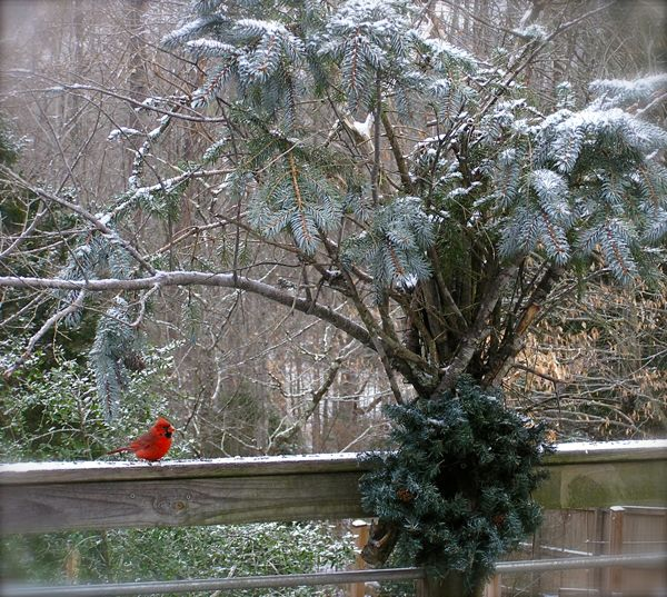 A male Cardinal in snow