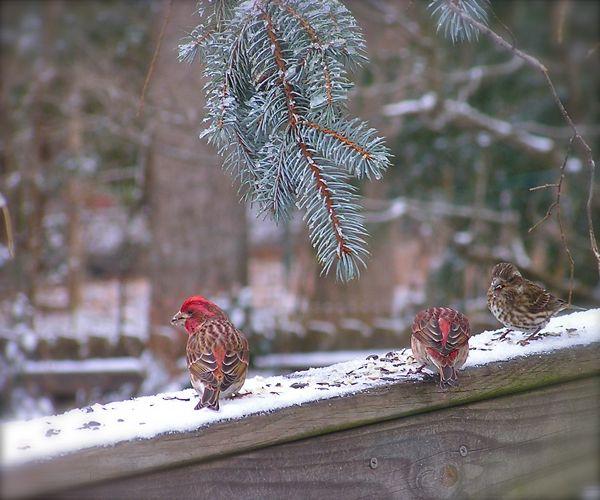 purple finches in snow
