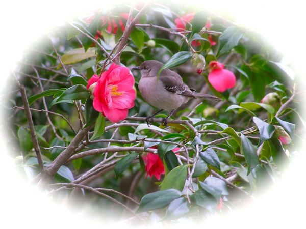 photo of a mockingbird in a Camellia bush