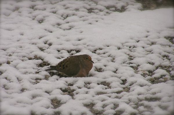 photo of Morning Dove