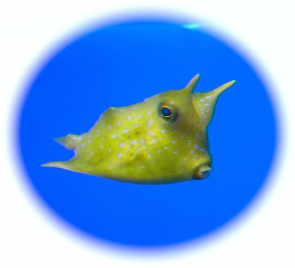 Oklahoma Aquarium cowfish photo