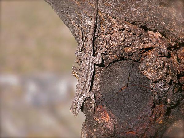 photo of a tree lizard on Mt. Lemmon