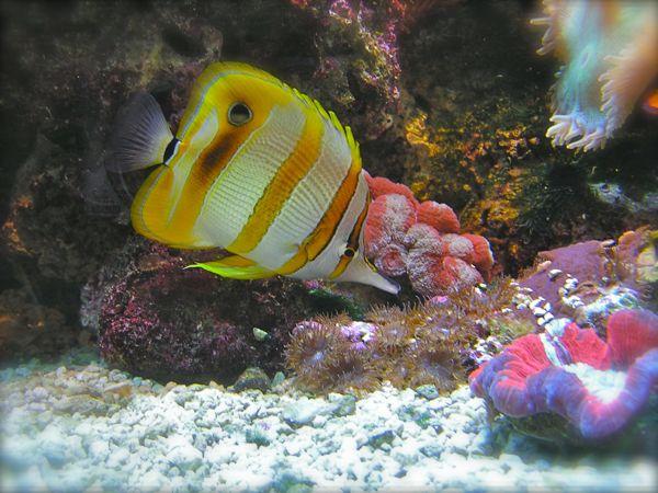 Oklahoma Aquarium butterflyfish photo