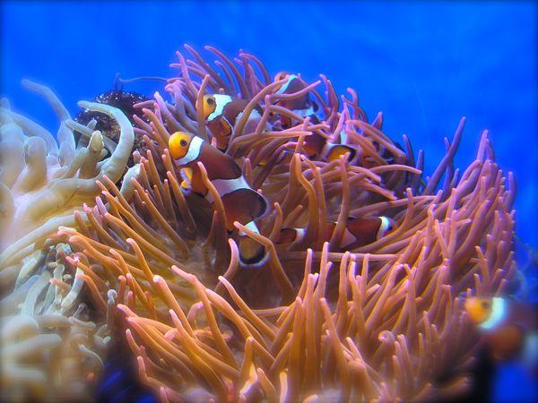 Oklahoma Aquarium clown fish photo