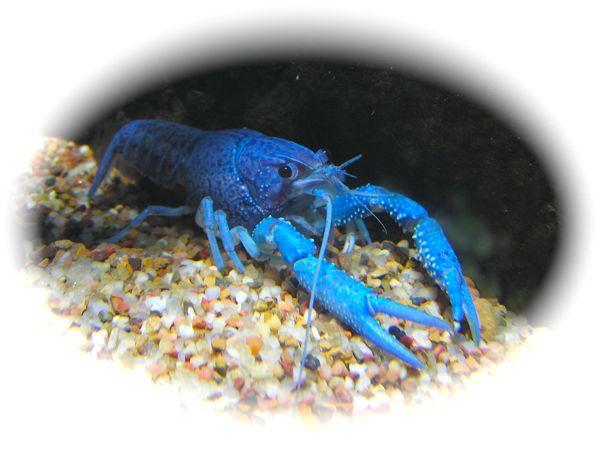 Oklahoma Aquarium Pininsula crawfish photo