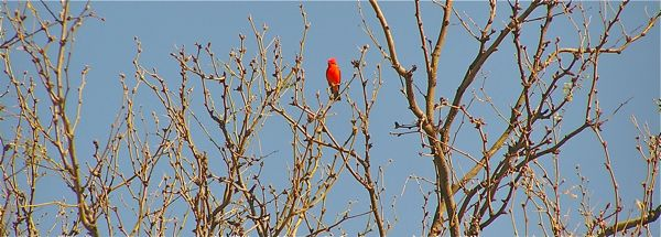 Vermillion Flycatcher photo