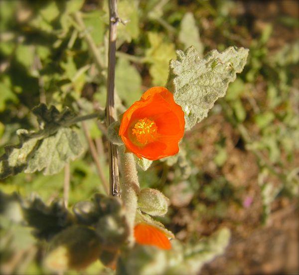 wildflower in the sonra desert