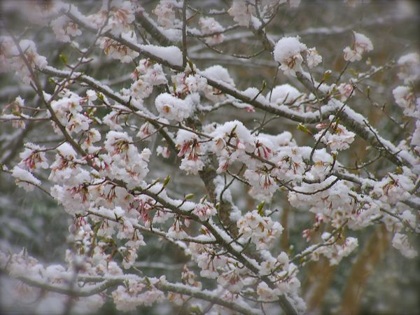 Yoshino Cherry blossoms covered in snow