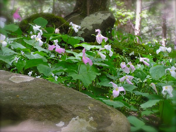 great white trillium photo