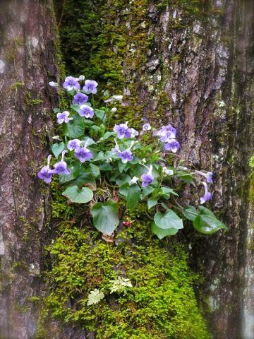 Longspurred Violets photo