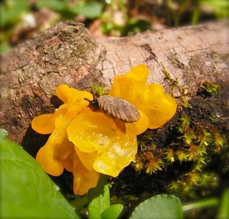 Witch's Butter fungi