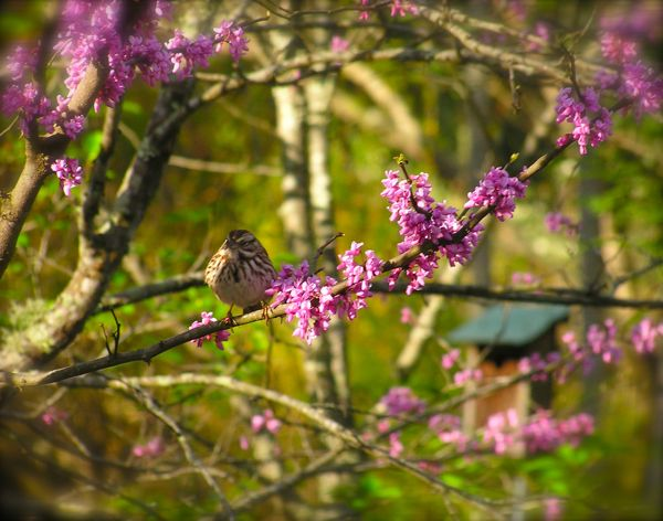 Song Sparrow sitting in the Red bud Tree photo