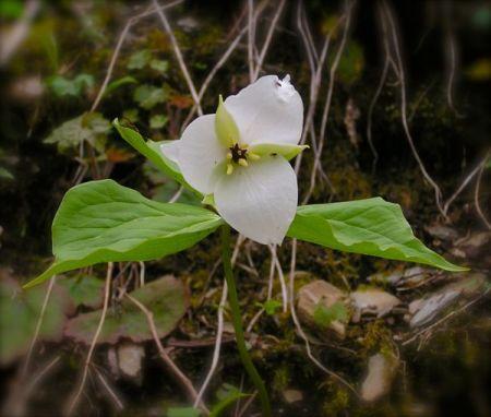 Sweet White Trillium