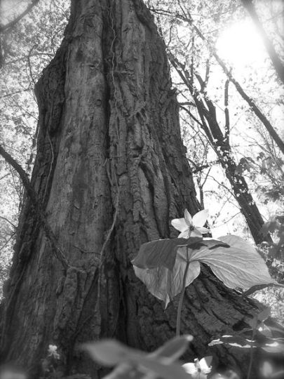 great white trillium photo