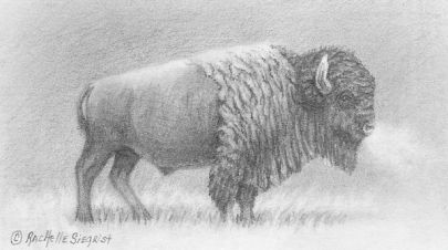 American Bison drawing