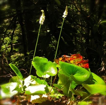 glalax flowers