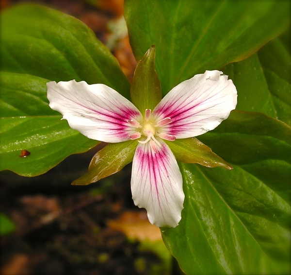 painted trillium photo