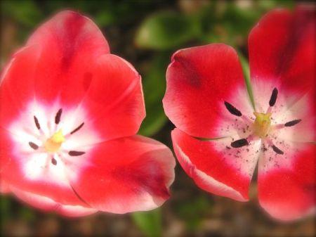 tuip flowers