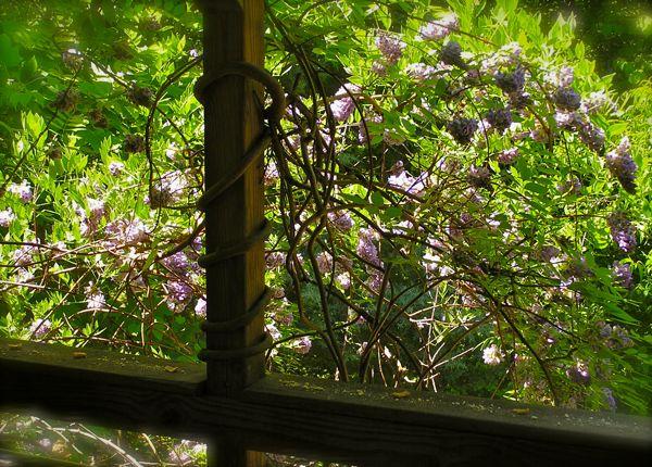 wisteria photo