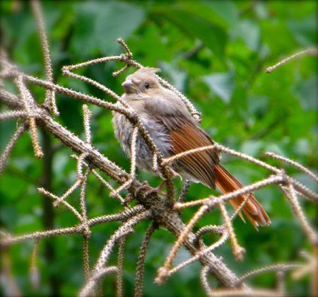 cardinal photo