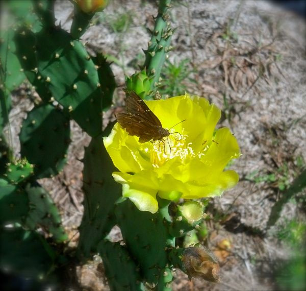 butterfly on cactus bloom