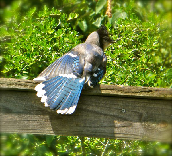 photo of a blue jay