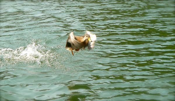 duck flying on lake glenville