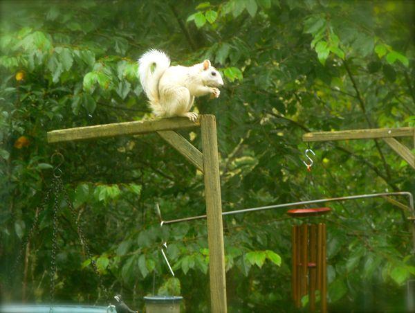 white squirrel photo