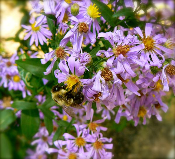 bumble bee on asters