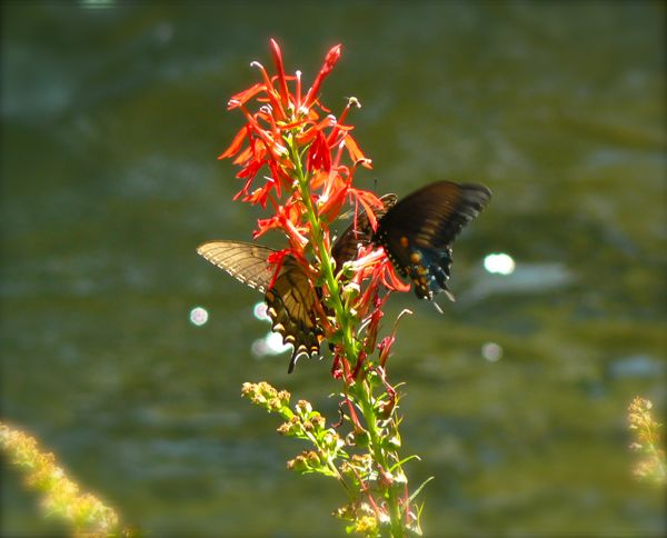 cardinal flower on little river trail