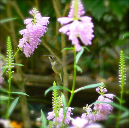 hummingbird with obedient plant flower