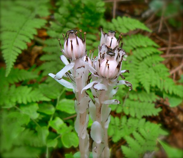 indian pipe blossoms on andrew's bald