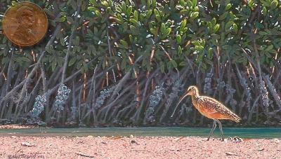 long billed curlew painting