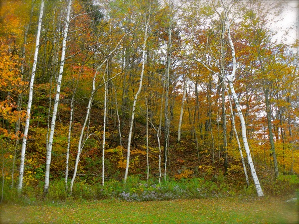 stand of birch trees on Mt. Equinox