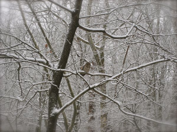 barred owl in the snow